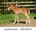 sweet irish pony foal . | Shutterstock . vector #29076073
