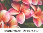 the beautiful plumeria flowers... | Shutterstock . vector #291076517