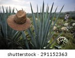 agave field for tequila... | Shutterstock . vector #291152363