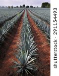 agave field for tequila... | Shutterstock . vector #291154493