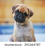 Stock photo a cute chihuahua pug mix puppy chug looking at the camera with a head tilt in front of a fenced 291364787