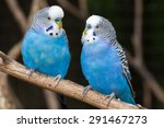 Two blue parakeets perched.