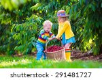 Kids Picking Cherry On A Fruit...
