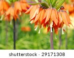 Orange Crown Imperial Or Kaise...