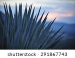 Sunset Over Agave Field For...