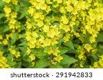 Yellow Moneywort  Flowers On A...