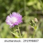 Small photo of Pink cornflower. Acroptilon repens Pall