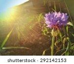 Cornflower At Sunset Lit By Su...