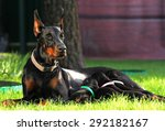 Doberman Dogs Family On The...