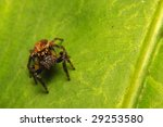Jolly Jumping Spider (telamonia Festiva) - stock photo