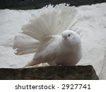 White Fantail Pigeon In Front...