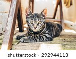 Grey Tabby Cat With Intense...