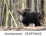 Big Wild Boar Standing In...