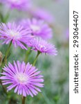 Small photo of Delosperma cooperi, Aizoaceae, known as Trailing Iceplant or Pink Carpet