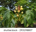 Small photo of Aesculus Pavia (USA), Red Buckeye, in the Arboretum at Rosemoor, Devon, England, UK