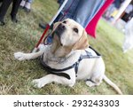 Labrador Retriever Guide Dog...