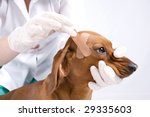 Dog with plaster on the head - stock photo