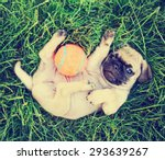 Stock photo  a cute baby pug chihuahua mix puppy playing with an orange tennis ball in the grassy clover during 293639267