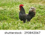 Rooster In Grass. Rooster...