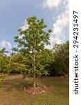 Small photo of Ambarella tree (Spondias cytherea, Spondias dulcis, June plum, Kedondong) in Queen Elizabeth II Botanic Park of Grand Cayman, Cayman Islands (British Overseas Territory)