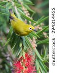 Small photo of African yellow white-eye (Zosterops senegalensis) in Bottlebrush tree