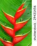 Tropical Heliconia