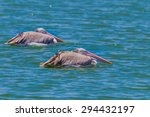 Couple Of Spot Billed Pelican ...