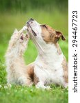 Stock photo little kitten playing with american staffordshire terrier dog 294467723