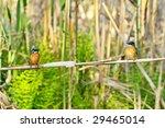 kingfishers  alcedo atthis  | Shutterstock . vector #29465014