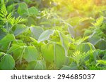 Field Of Soy And Weeds In The...