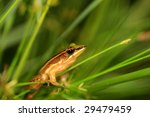 Taipei grass frog - stock photo