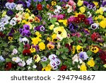 Multicolored Pansies.