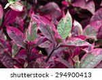 Small photo of Colorful Joyweeds(Alternanthera dentata 'Red Marble')