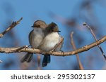 Two Superb Fairy Wrens