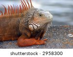 Orange Iguana Sitting On...