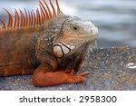 Orange Iguana Sitting On...