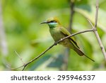 Little Green Bee Eater  Merops...
