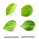apple leaves isolated on white... | Shutterstock . vector #295979957