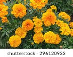 Orange Marigolds On The...