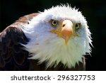 a beautiful north american bald ... | Shutterstock . vector #296327753