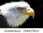 a beautiful north american bald ... | Shutterstock . vector #296327813