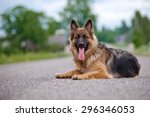 German Shepherd Dog Lying Down...