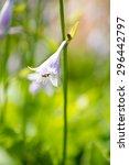 Hosta Blooms In The Garden