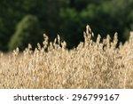 oat field | Shutterstock . vector #296799167