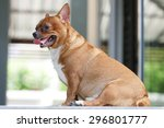 very fat brown chihuahua dog   Shutterstock . vector #296801777