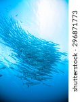 mackerel barracuda kingfish... | Shutterstock . vector #296871773