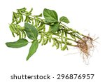 fresh soybean with pod and leaf | Shutterstock . vector #296876957