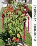 Small photo of Flowering Amaranthus caudatus on lawn