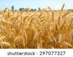 cornfield   Shutterstock . vector #297077327