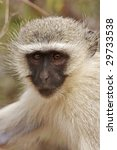 Small photo of A vervet monkey, cercopithecus aethiops, in a close up portrait